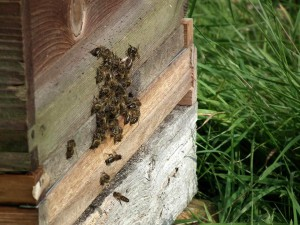honeybees-on-beehive